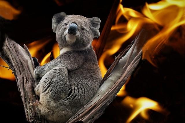 Orman yangını ve yangınlar içindeki koala